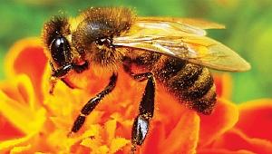 Arı sokmalarını geçirecek doğal yöntemler