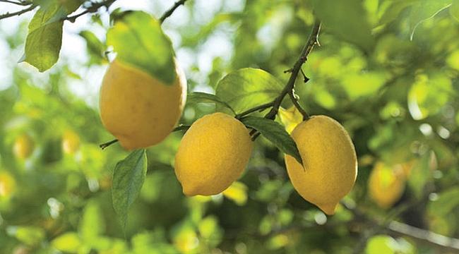 İşte vücutta yağ bırakmayan limon diyeti