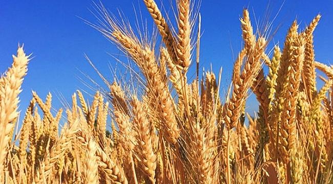 Buğday ticaretinden 12,5 milyar dolarlık katkı
