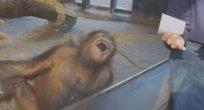 Sihir numarası orangutana kahkaha attırdı