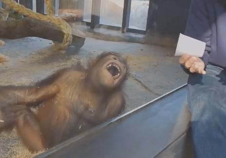 Sihir numarasına kahkahalarla gülen orangutan